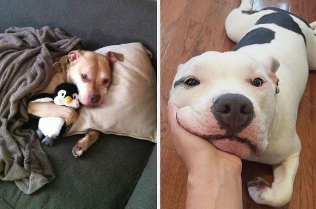 23 Bilder, die zeigen, warum du niemals, echt NIEMALS einen Pitbull als Haustier haben solltest