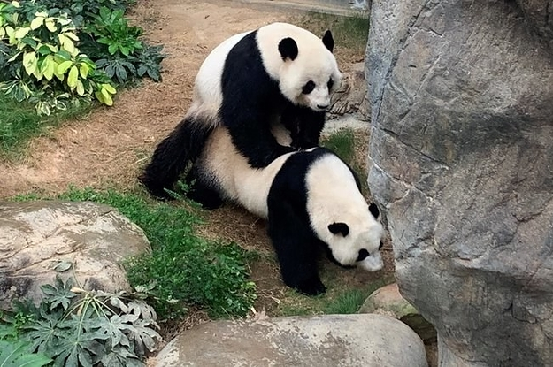 Two Pandas At An Empty Zoo Under Coronavirus Quarantine Finally Boned After 10 Years Together