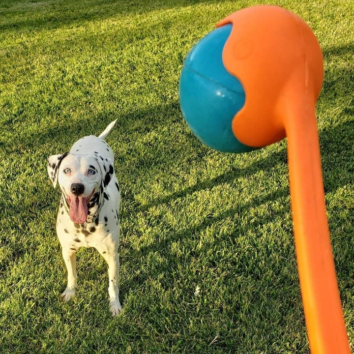 a Dalmatian dog with their tongue out waiting to play with the dog ball launcher