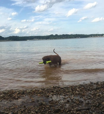 A brown dog standing in a lake or pond holding the foam stick toy in its mouth