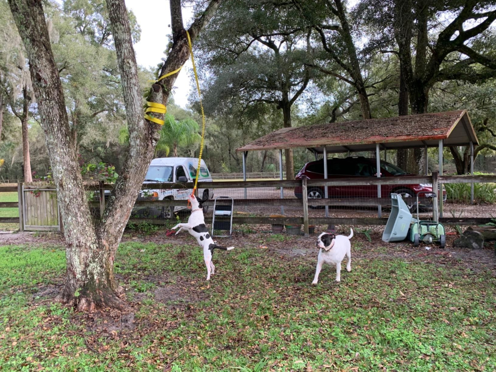 A black and white dog grabs the rope toy that's been wrapped around a thick branch and is hanging from a large tree