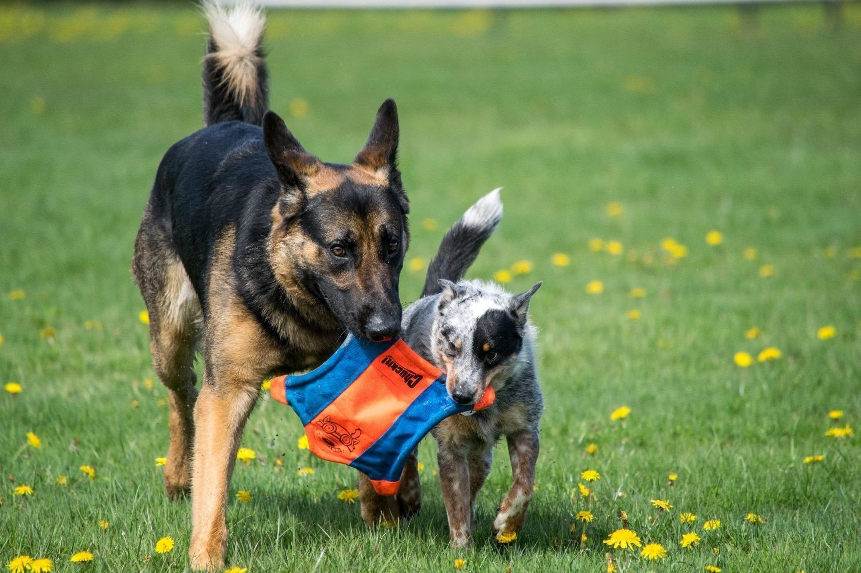 A large German shepherd and a smaller white and brown speckled dog holding the same frisbee toy in their mouth at the same time