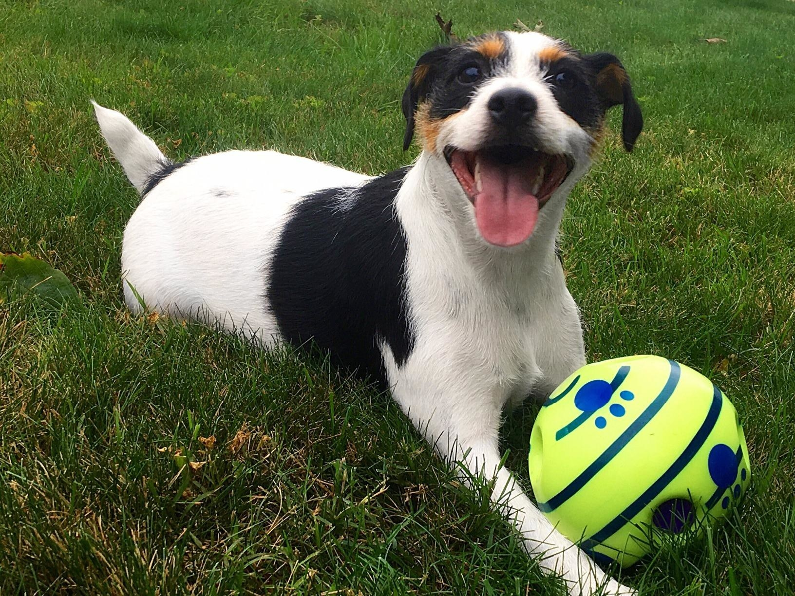 A very happy white, brown, and black dog sitting on grass with the ball in front of him