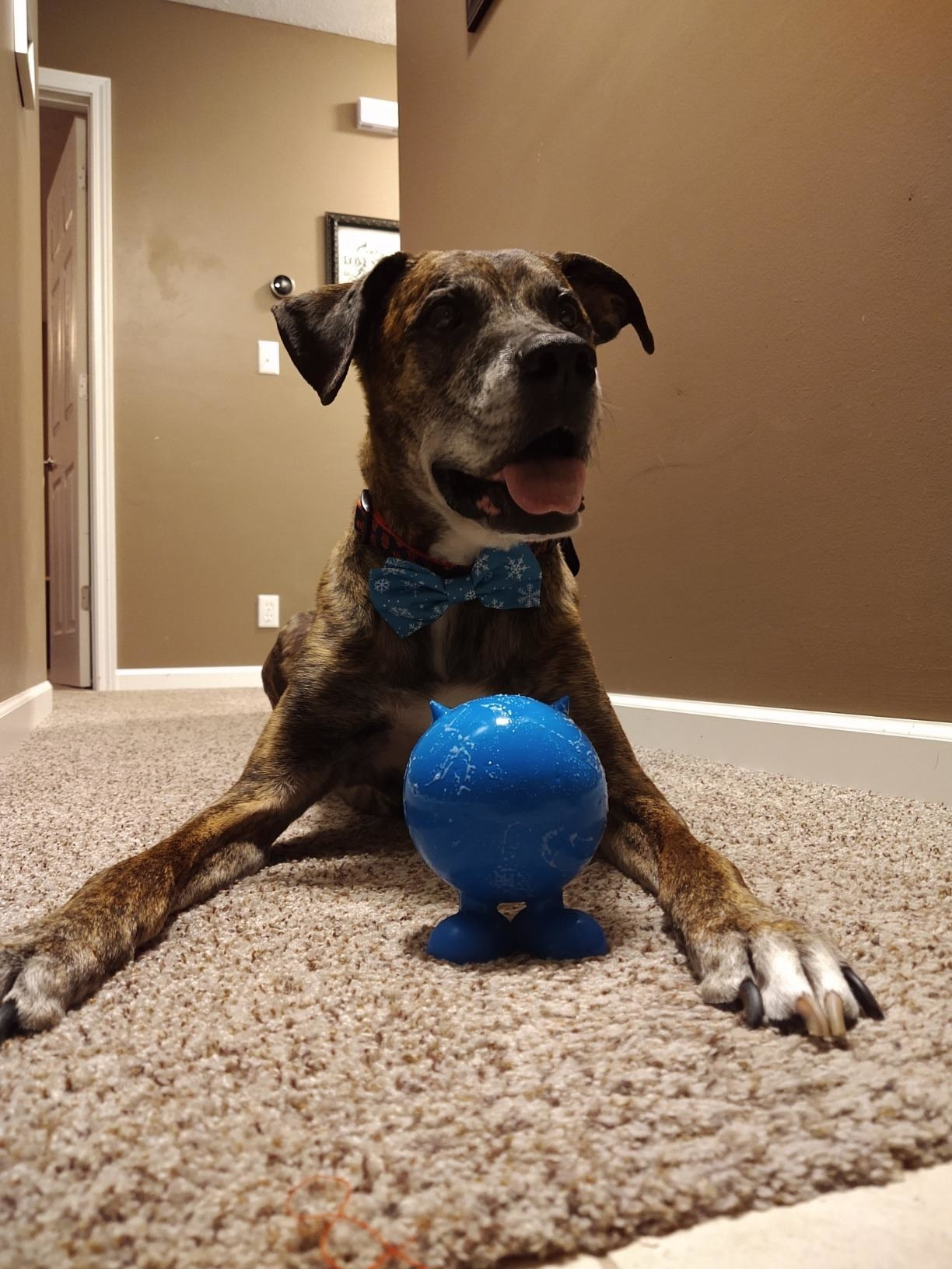 A brown and white dog sitting on carpet with a blue ball between his front legs