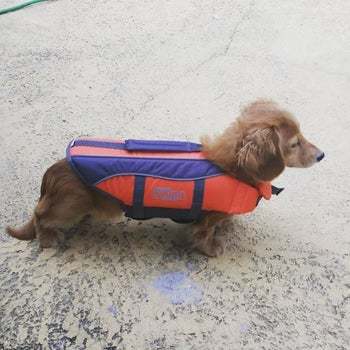 A mini dachshund wearing a red and blue life vest