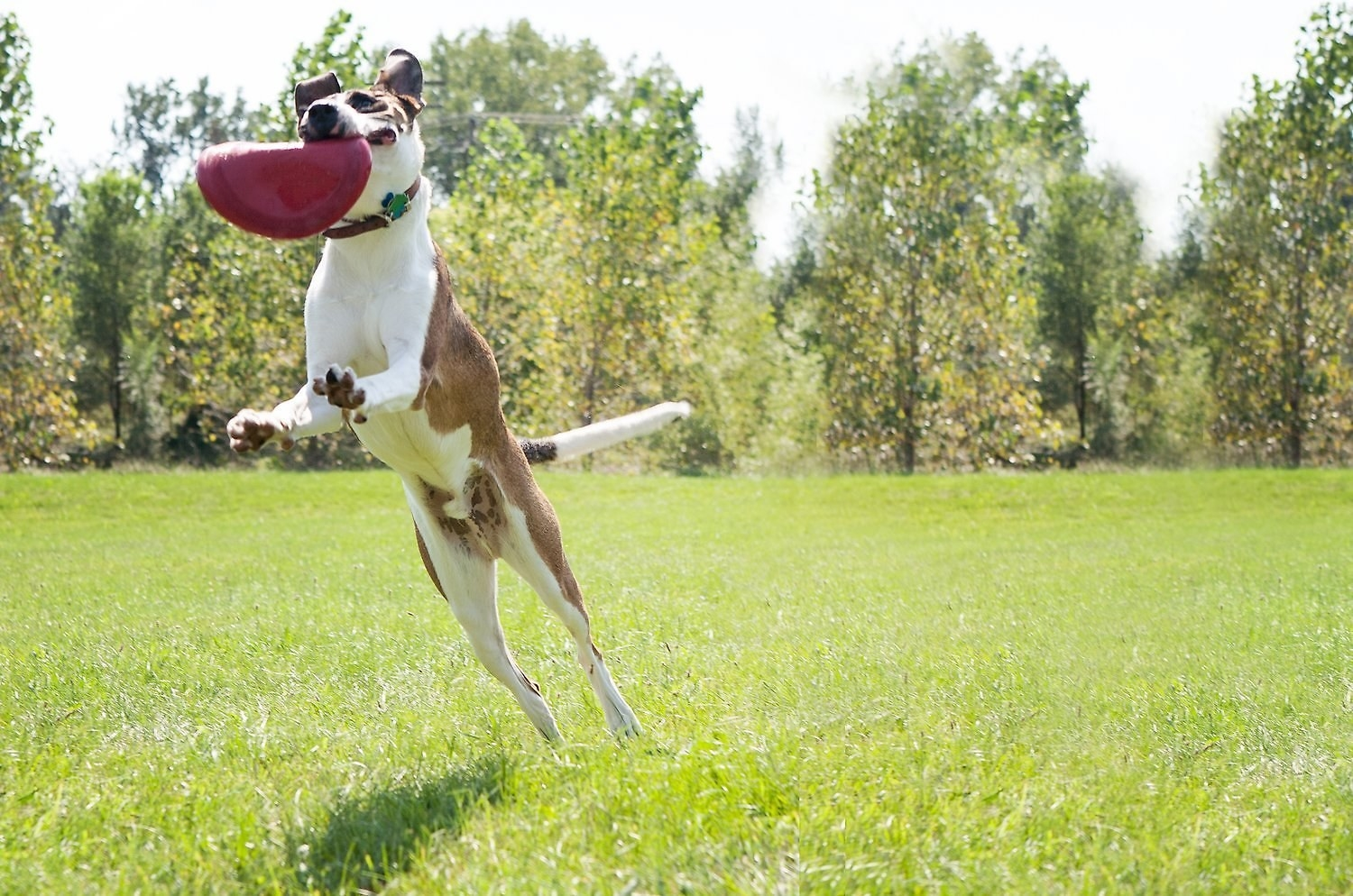 A white and brown dog jumping in the air to catch the flying disc. It's bending in its mouth so you can tell its flexible