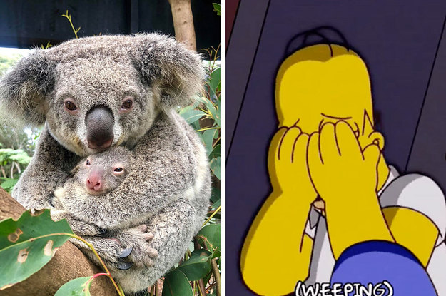 Kneel And Weep Before The First Koala Joey To Be Born Since The Devastating Australian Bushfires