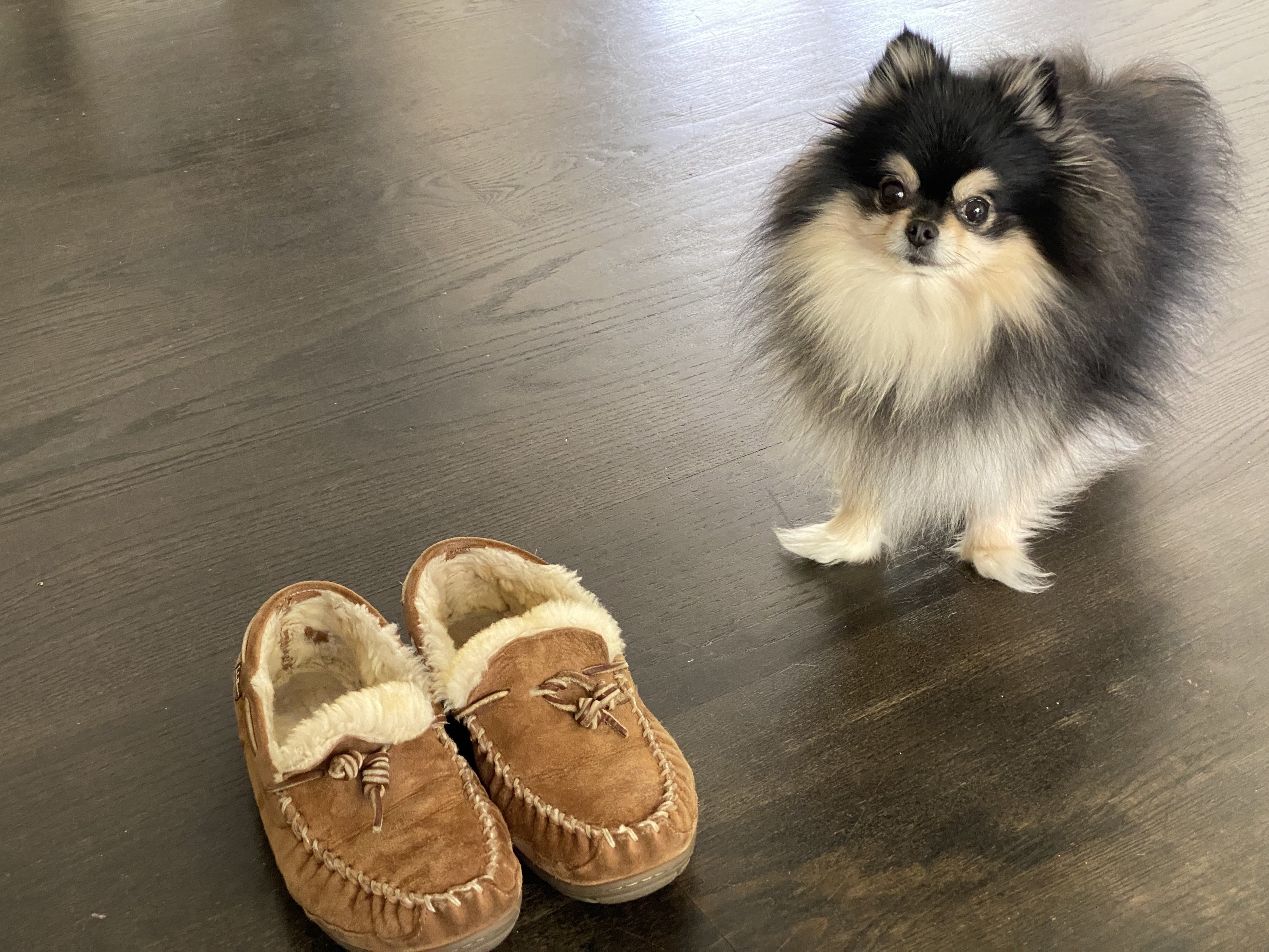 A very floofy black and tan Pomeranian stood next to the BuzzFeed editor's moccasins
