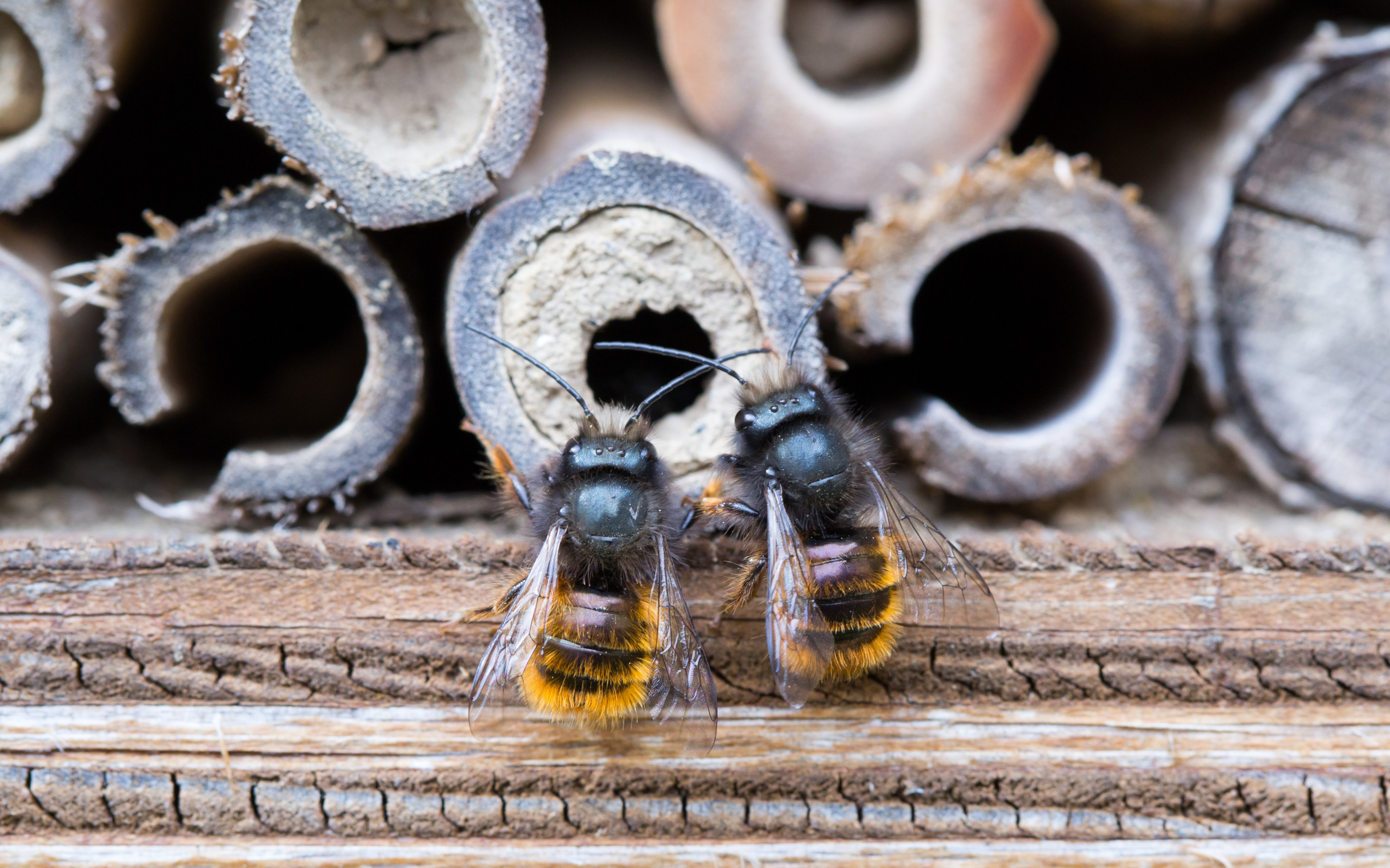 A close up of two honey bees.