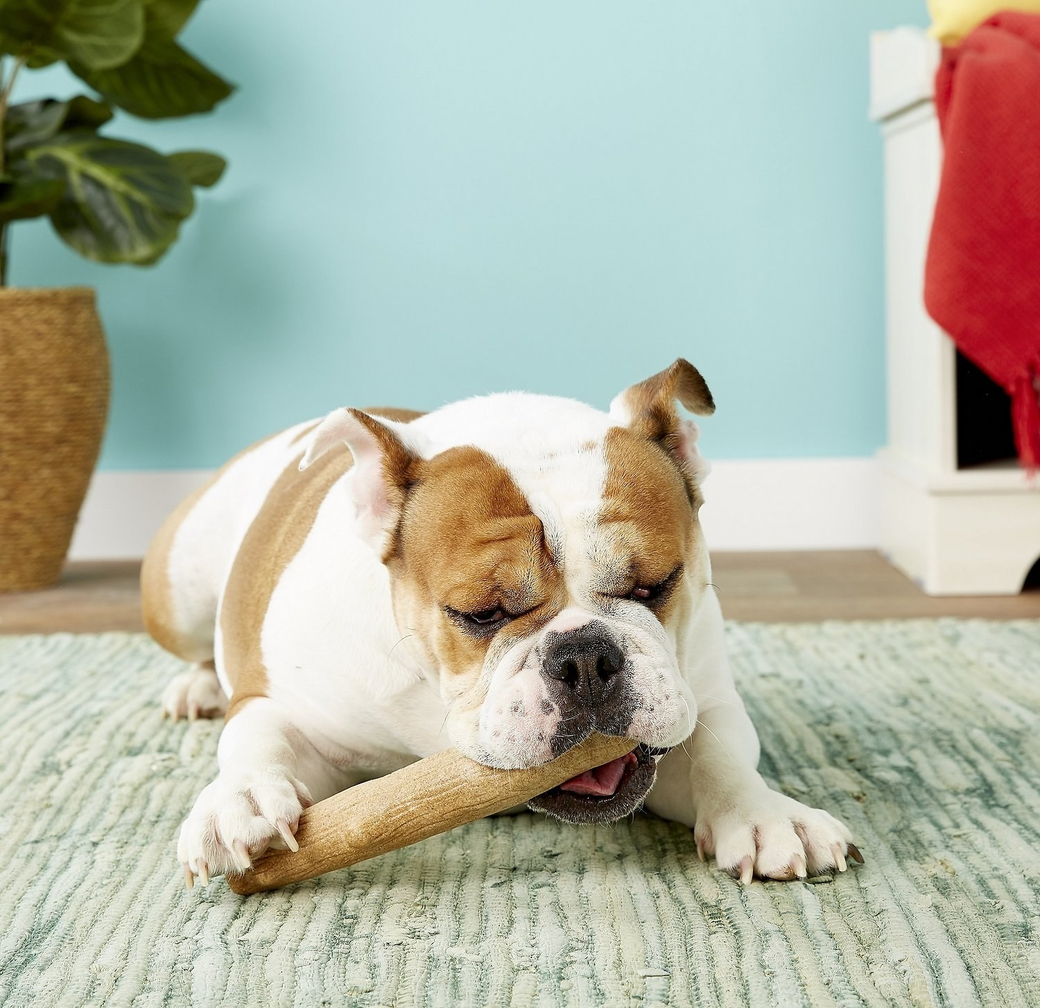 Bulldog chewing on the log-shaped toy