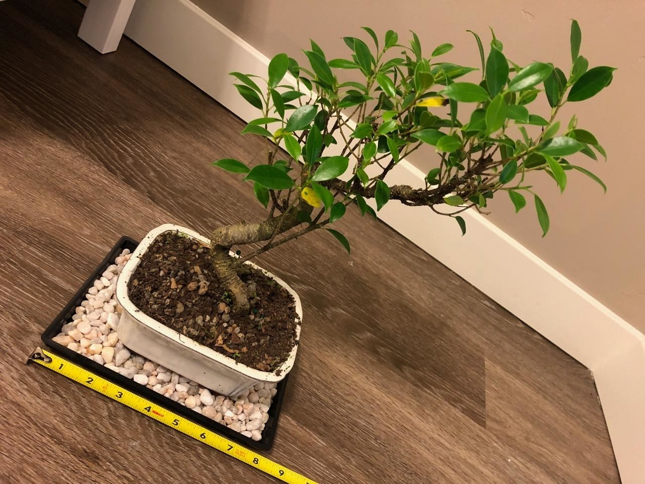 reviewer's bonsai tree sitting on pebble tray with tape measurer showing it's eight inches long