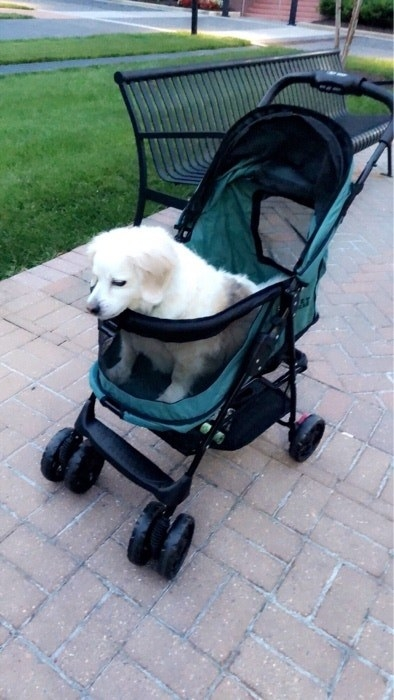 Reviewer photo of a medium-size dog in a blue mesh stroller