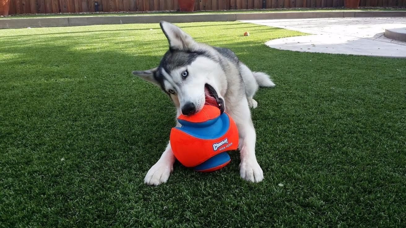 Reviewer photo of a husky biting the ball, which is almost the size of its head