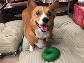 Reviewer photo of a corgi with the ring, which is a bit smaller than its head