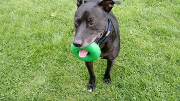 Reviewer photo of the donut-shaped toy in a dog's mouth