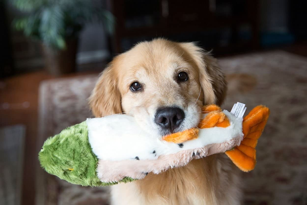 Golden retriever holding the fish toy in its mouth