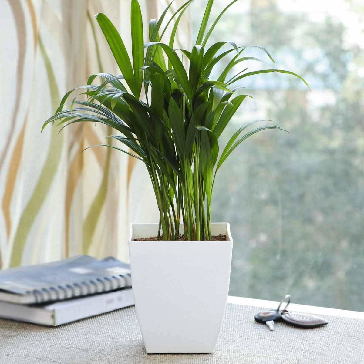 The areca plant kept in white pot and placed on desk with notebooks and keys.