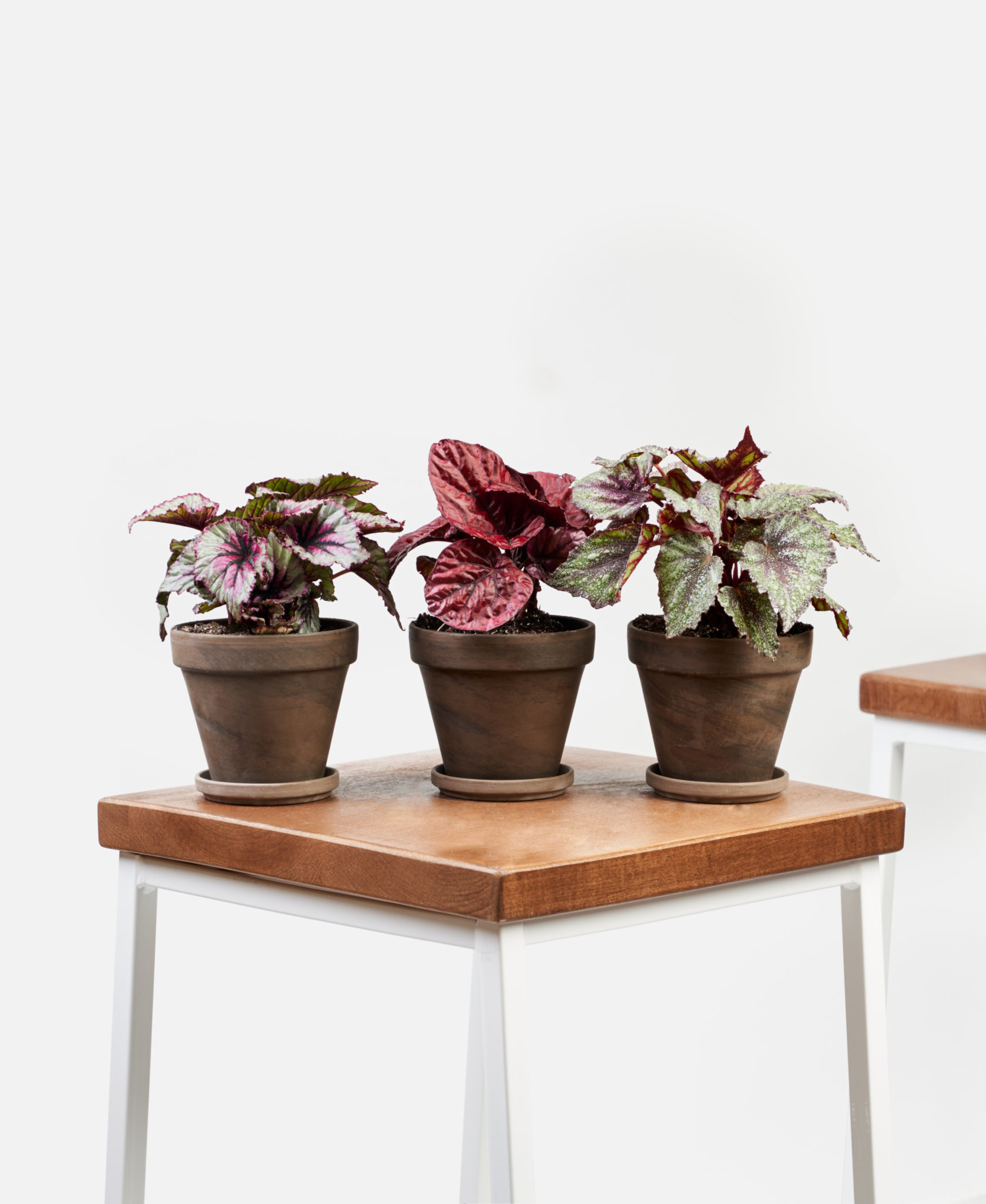 three purple colored begonias in grey pots