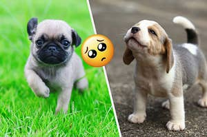 Baby pug and baby beagle just being super freakin cute