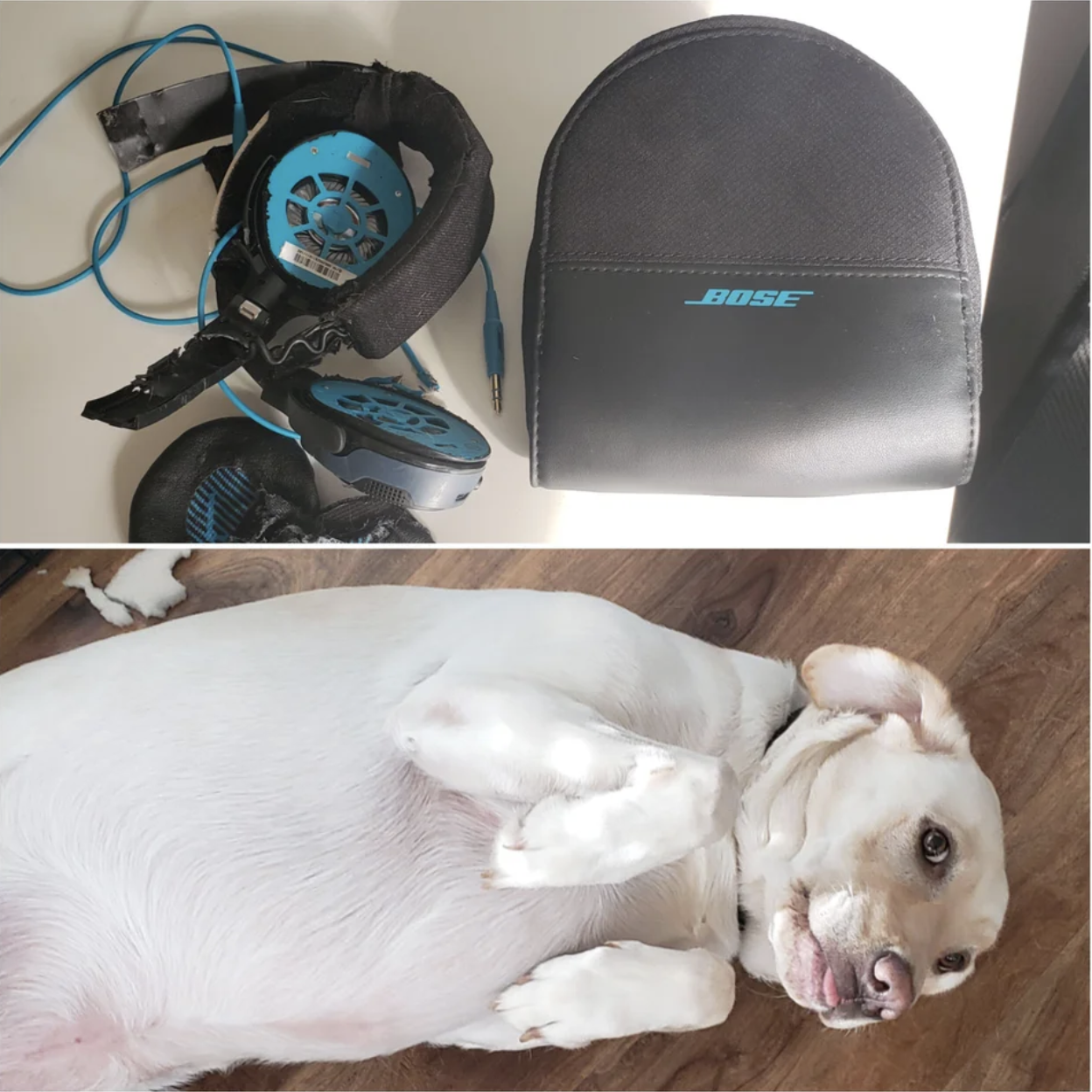 A dog and chewed-up headphones