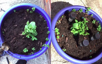 On the left, a before and after photo of a plant showing growth from the plant food spike