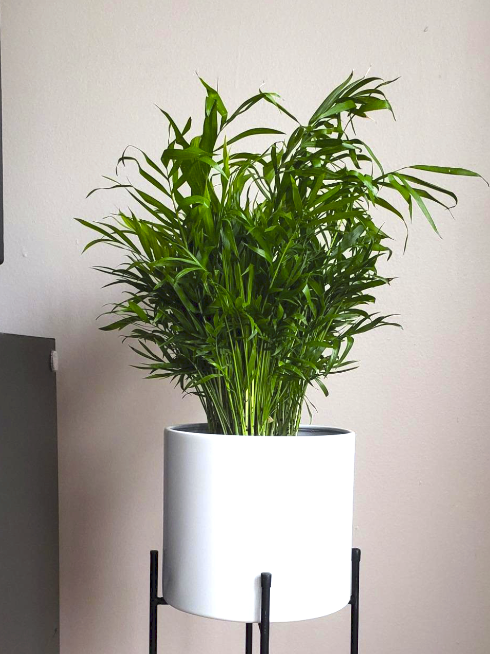 The palm plant looks like green branches that stick straight up out of the soil. It's about two feet tall and sitting inside of a planter on top of a plant stand.