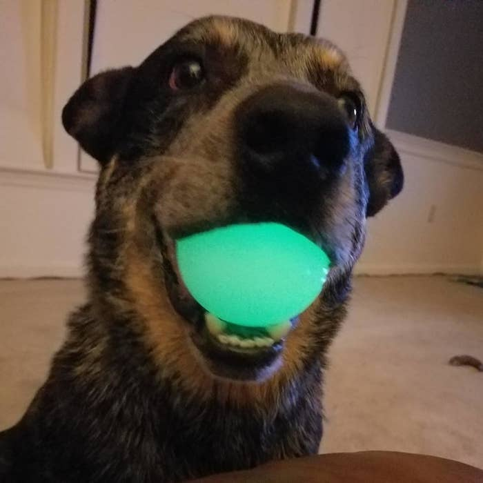 Reviewer photo of a dog holding the glowing ball in its mouth