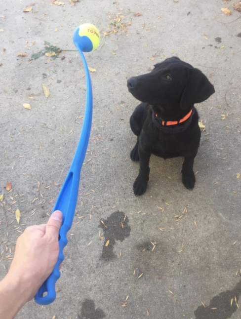 a dog waiting for the ball to be thrown from the long arm-like throwing toy