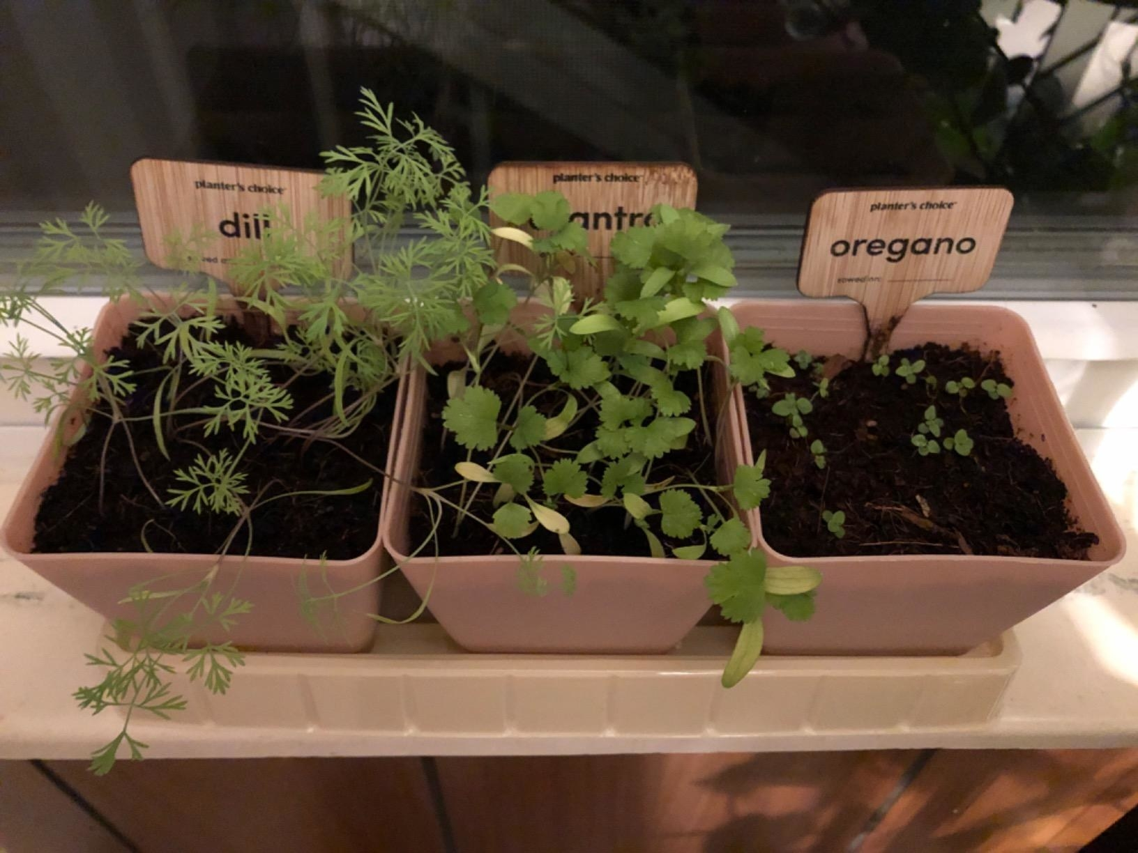 Reviewer's image of three of the herb pots sprouting: dill, cilantro, and oregano