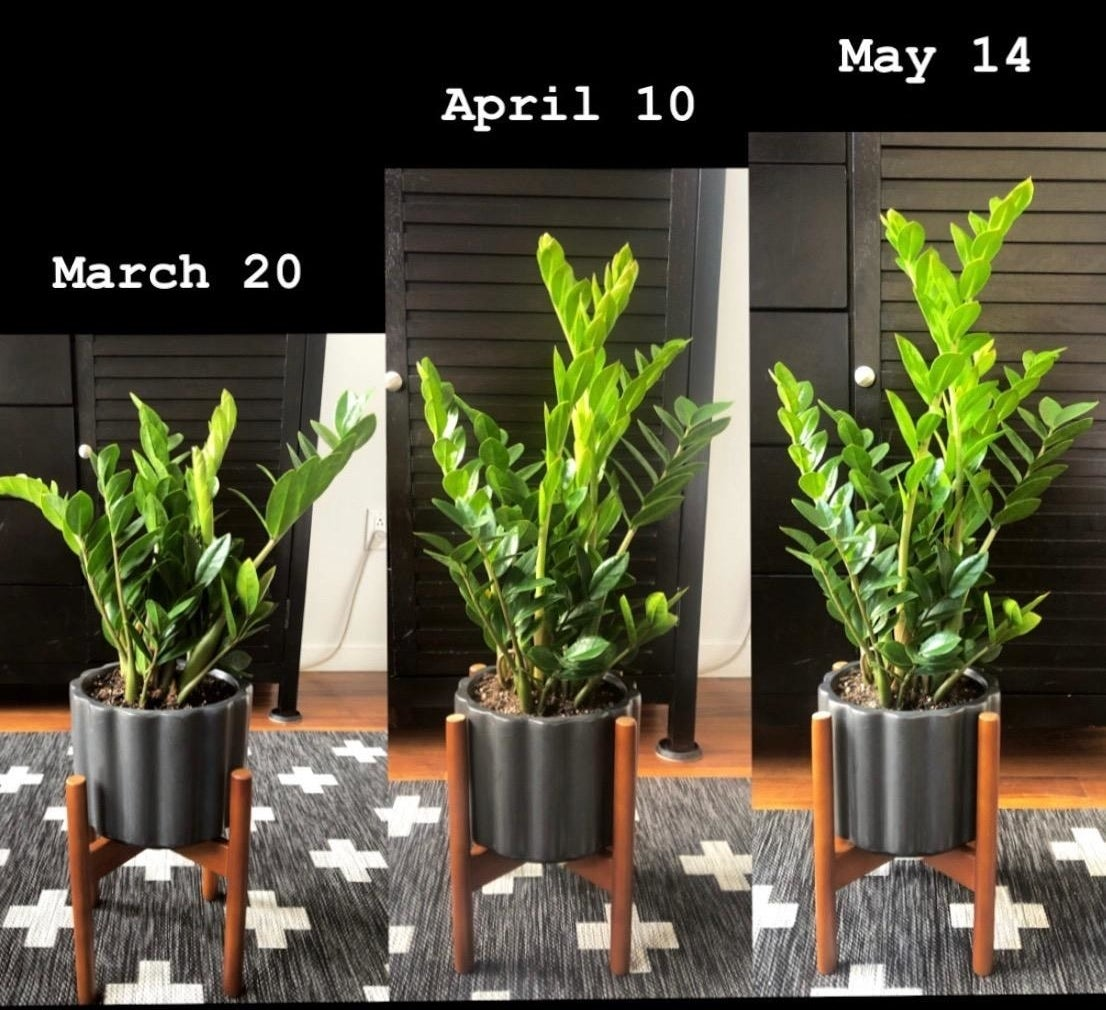 Review showing a plant doubling in size, one photo on March 20, one on April 10, and the last on May 14