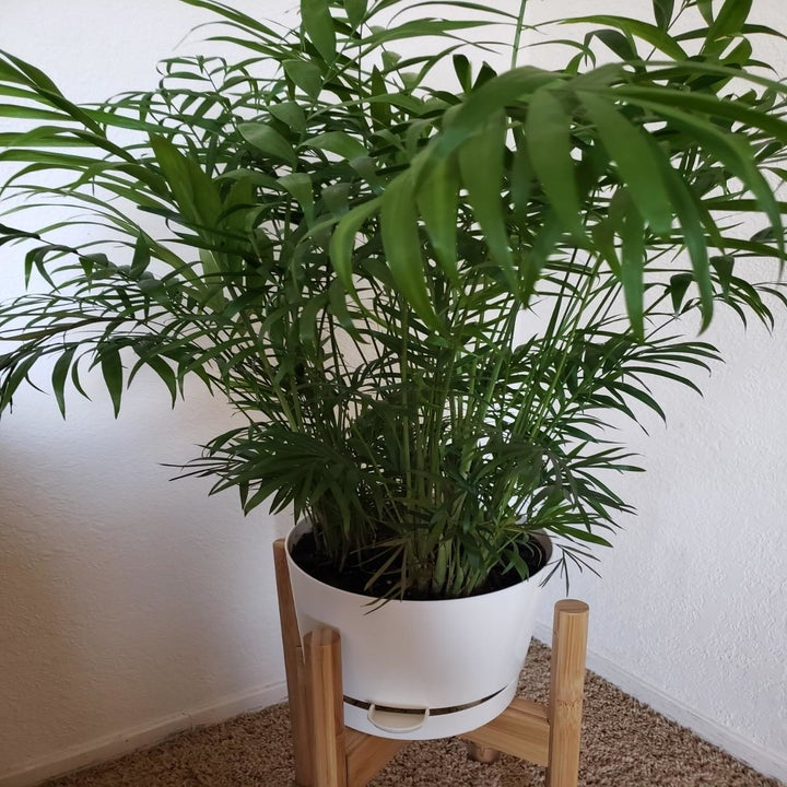 A full, large plant in the pot with the spout