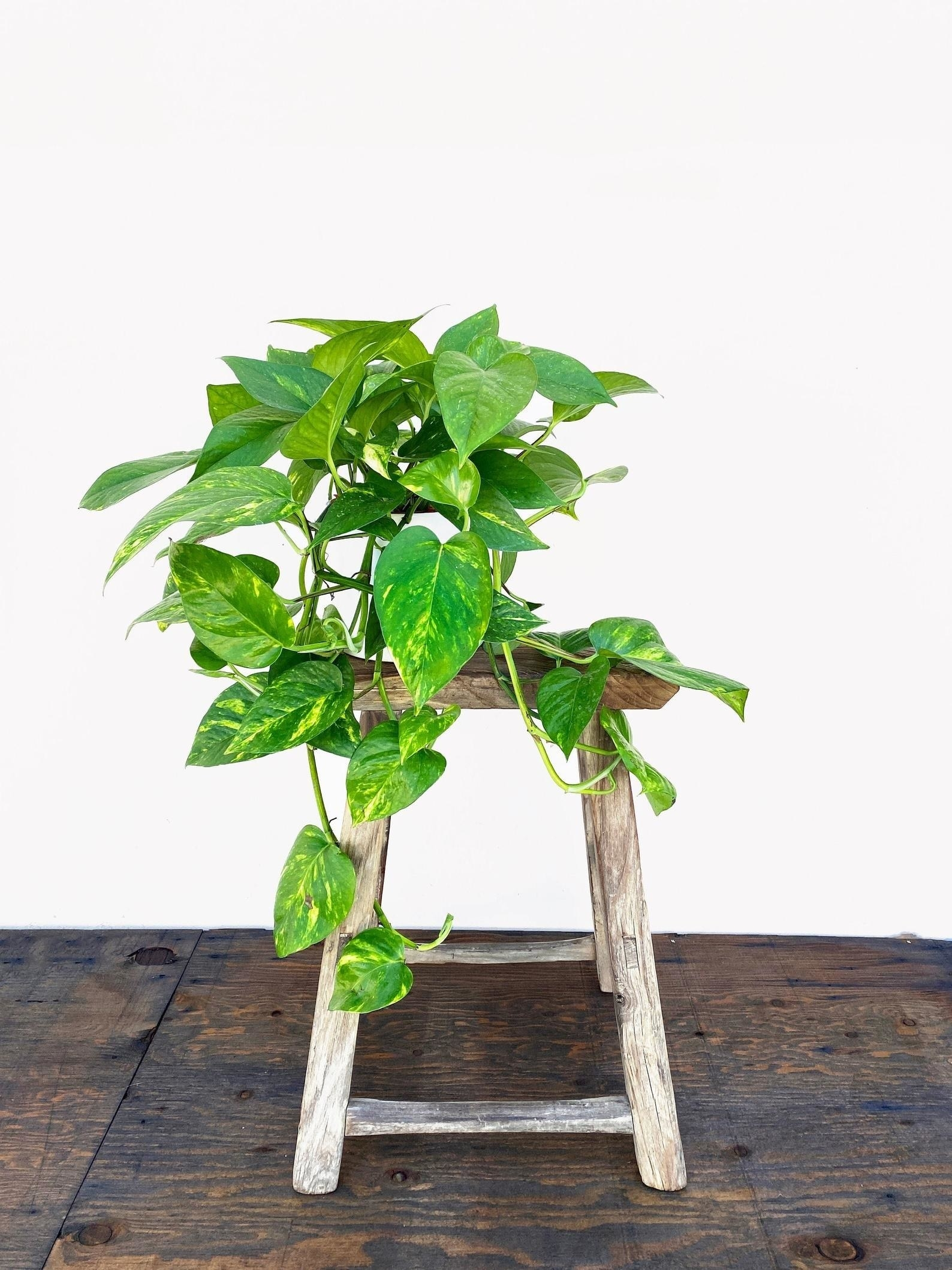 the golden pothos with long heart shaped leaves, sitting on a stool