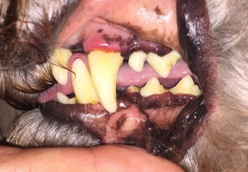 A dog's gums looking irritated and red