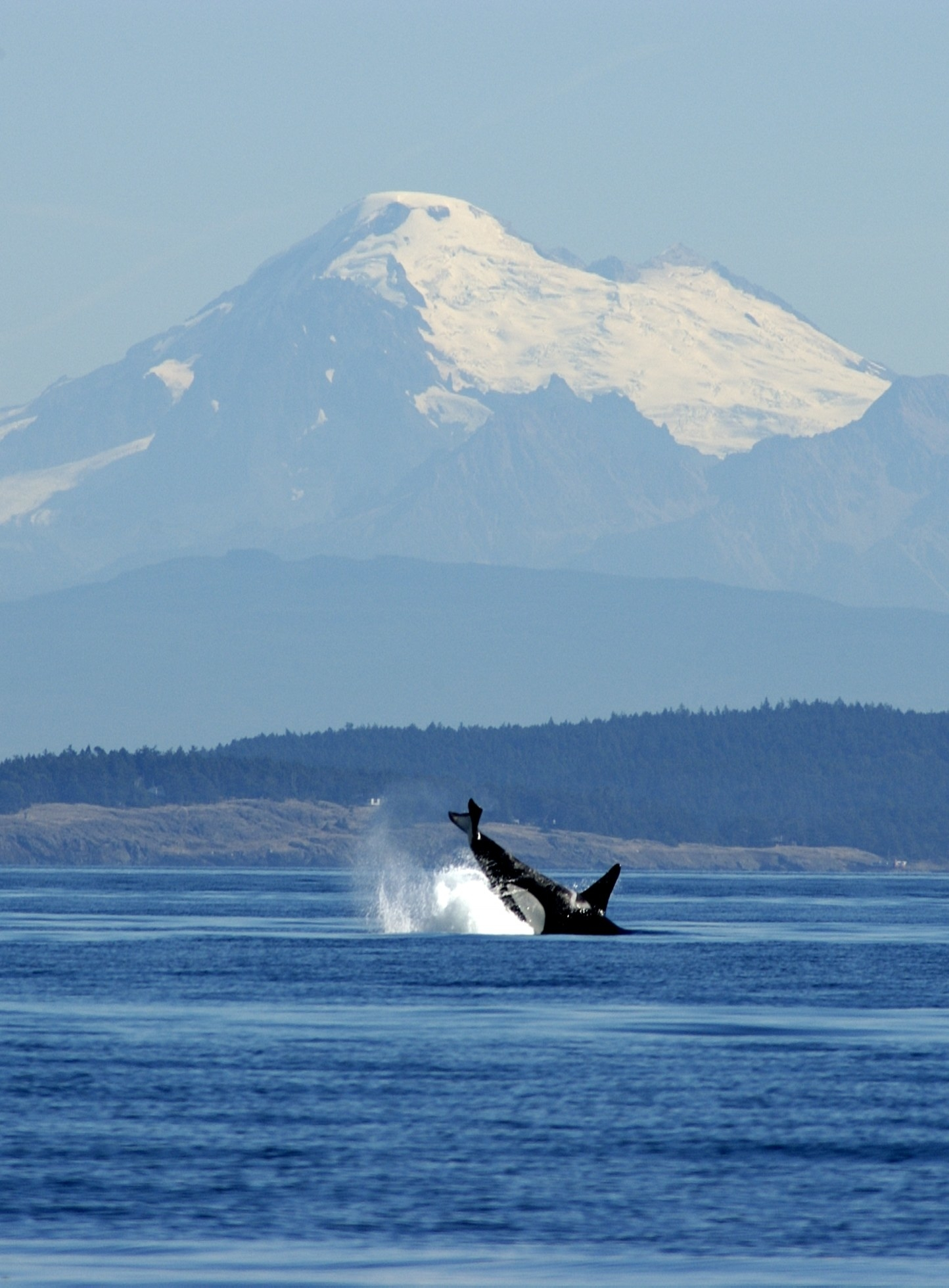 A killer whale breaches off the west coast of San Juan Island with Mount Baker as a backdrop