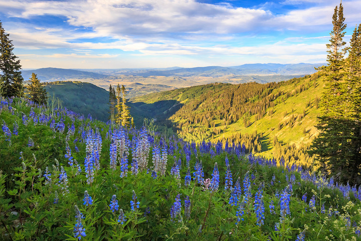 Blue lupine wildflowers above the ski runs in Park City