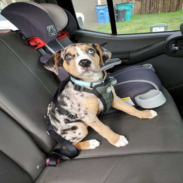 Reviewer photo of their dog wearing the seat belt while sitting in the backseat