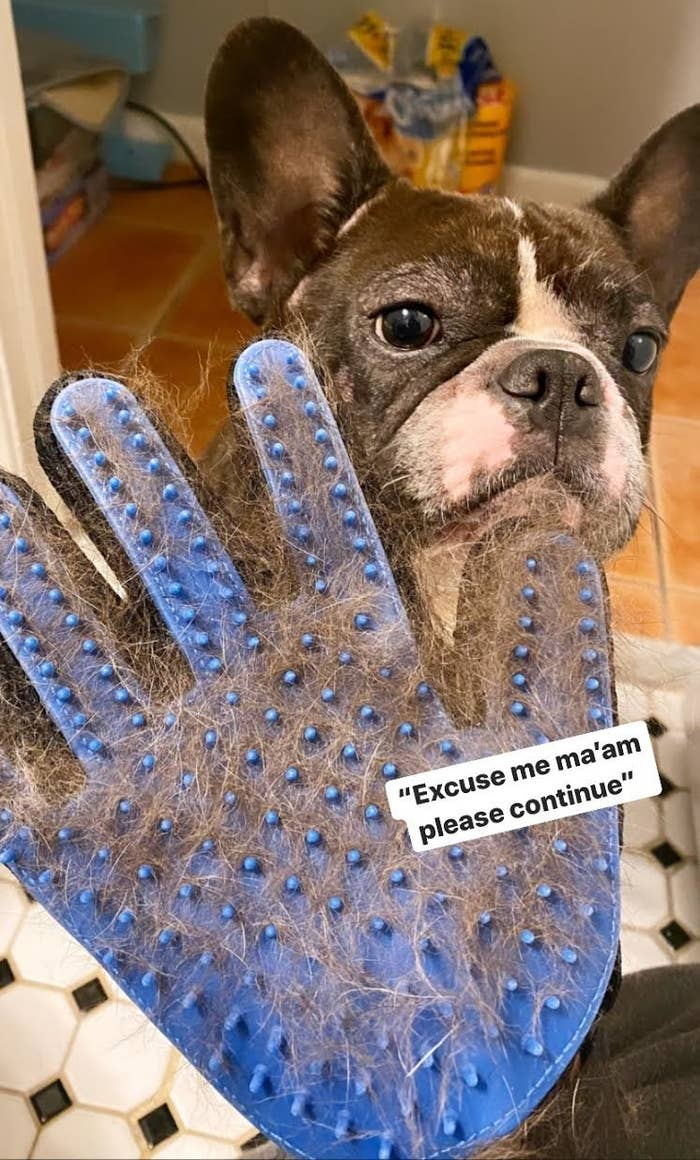 The grooming glove with silicone nodules, full of hair held in front of a French bulldog
