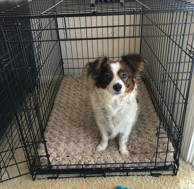 medium size dog inside the dog crate with a plush looking bed in it