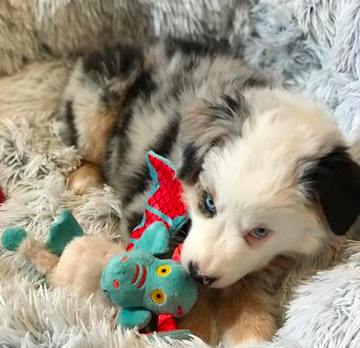 Australian shepherd puppy in a faux fur bed with a dragon toy