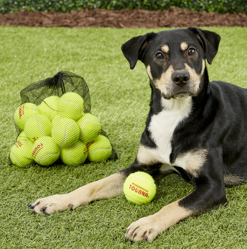 A large black and tan dog with one of the tennis balls between their paws
