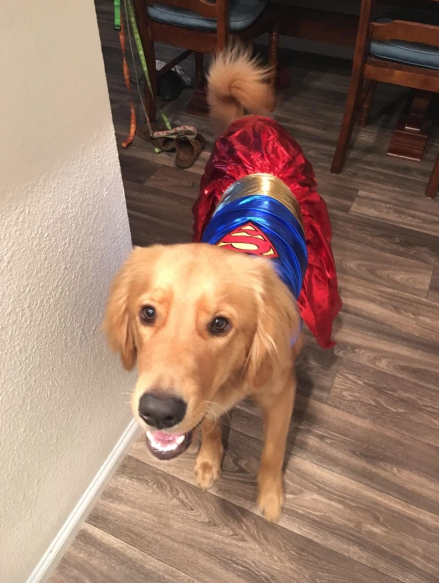 golden retriever wearing a Supergirl costume