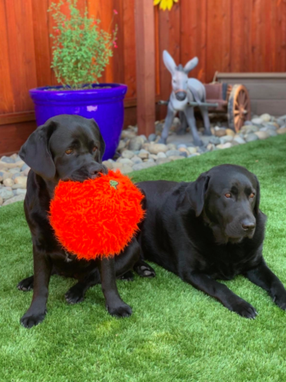 Reviewer's dogs play with a plush red toy while sitting on artificial grass treated with an odor eliminator
