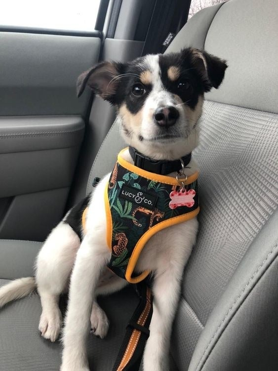 reviewer's dog in the floral and tiger print harness