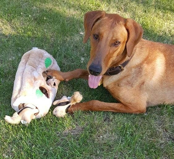 reviewer's dog with squirrel squeaky toy