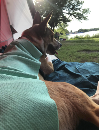 reviewer's dog with a towel draped over it as it lays outside