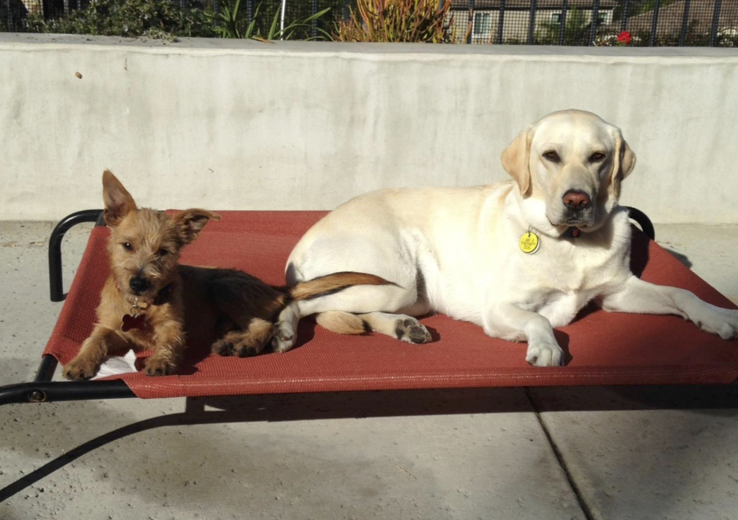 Two dogs perched on an elevated red cooling mat in the sun