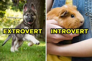 """On the left, a German Shepherd puppy jumps in the grass and """"extrovert"""" is typed on top of the picture, and on the right, someone holds a guinea pig in their arms and """"introvert"""" is typed on top of it"""