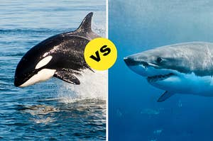 A large orca breaching out of the water versus a huge great white shark showing its teeth