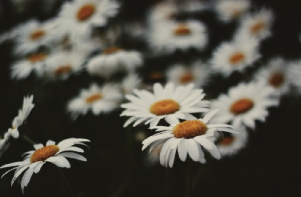 Field of daises