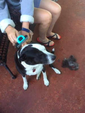 Reviewer detangles their dog's fur with a blue dog grooming brush